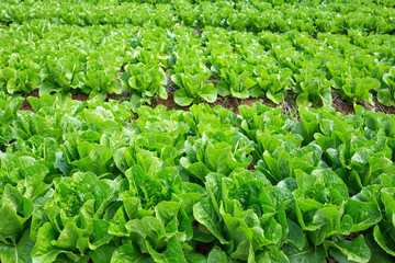 Non-toxic fresh vegetables in the planting field.