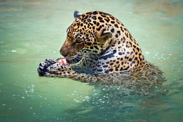 Jaguar is resting in the water.