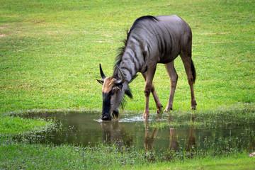 wildebeest is living on the grassland.