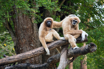 Family of  Common gibbon, White-handed gibbon  in the natural forest.