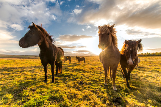 horses with beautiful and thick mane