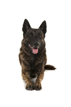 Brindle dutch shepherd dog lying down seen from the front isolated on a white background looking up with mouth open