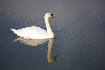 Beautiful white swan in the water