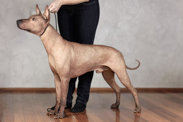 Portrait of standing adult Xolotizcuintle dog (Mexican Hairless), male standard size in show training with hanlder. Beautiful dog with with clever look. Indoors, copy space.
