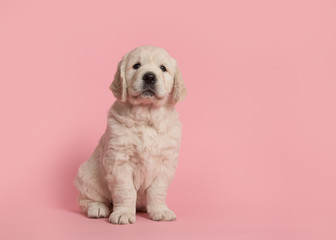 Cute golden retriever puppy looking at the camera sitting on a pink background Wall mural