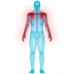 Human Skeleton System Anatomy