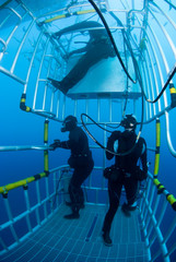 Scuba Divers in a diving cage looking for Great White Sharks in clear blue water