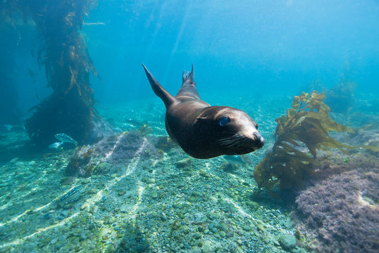 Young Sea Lion swimming around between giant kelp in a lagoon in blue water