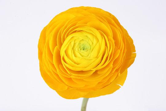 Yellow ranunculus flower on white background