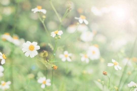 May flowers field of camomiles in garden in sunny day for wallpaper background. White and yellow chamomile daisies in meadow. Spring begins, Mother's day in summer