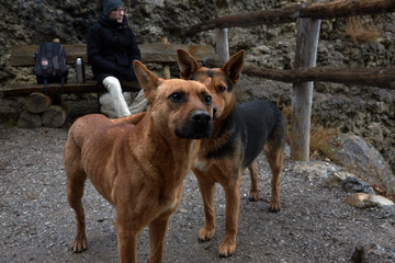 Two rufous stray dogs in Crimea seashore