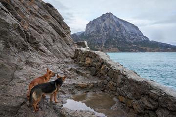 Two rufous stray dogs in Crimea seashore