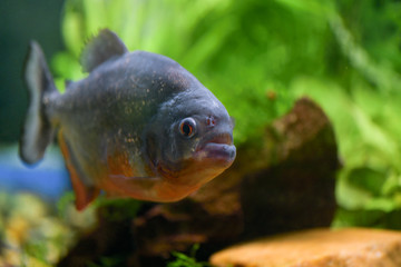 One big fish piranha close-up swims in a large transparent aquarium with green plants