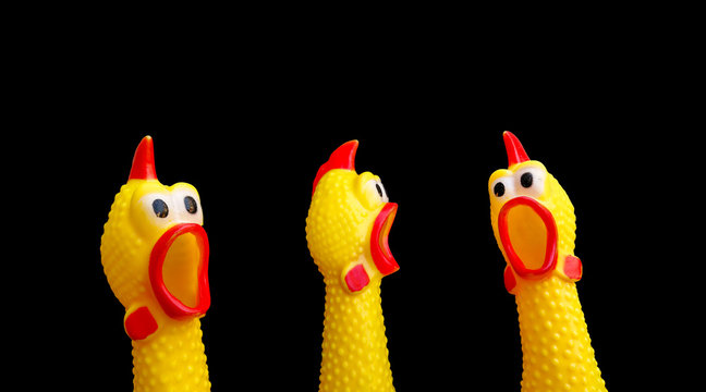 squawking chicken or squeaky toy are shouting and copy space isolated on Black background. This has clipping path.