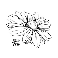 Chamomile hand drawn vector illustration. Floral ink pen engraved sketch. Black and white clipart. Realistic Daisy Flower freehand drawing. Isolated monochrome design element. Sketched outline