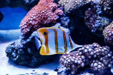 Zebrasoma fish sailing Zebrasoma desjardini
