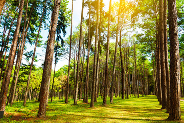 Beautiful in the morning sunshine in the forest with pine trees.