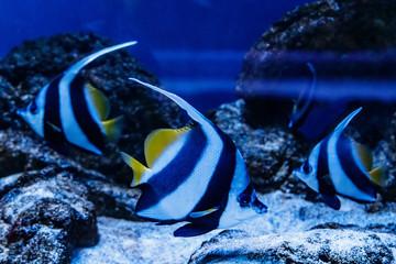 Fish Red Sea Kabuba Heniochus intermedius