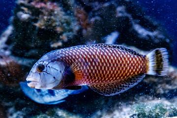 Fish Guban - dragon Novaculichthys taeniourus