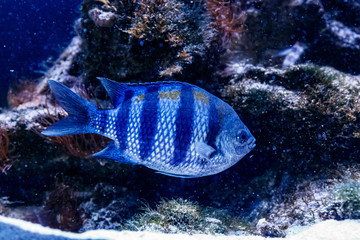 Fish Surgeon Zebra Acanthurus triostegu