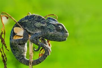 Green chameleon - Stock Image