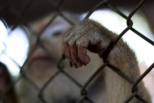 The monkey that is locked in the cage.
