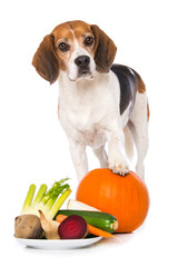 Beagle dog with vegetables isolated on white background