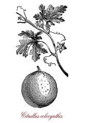 Vintage botanical engraving of Citrullus colocynthis, desert viny plant native to the Mediterranean with small hard fruits of bitter taste. Cultivated for oilseed and biofuel