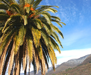 Canarian date palm against the sky and mountains
