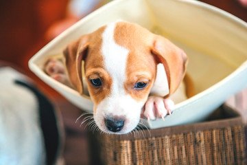 adorable beagle puppy in the foreground