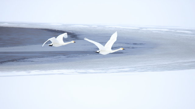 ハクチョウ(16:9) Swans