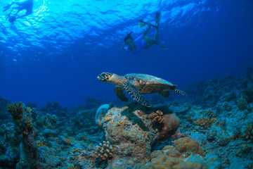 Girl snorkeling with turtle on blue tropical water background