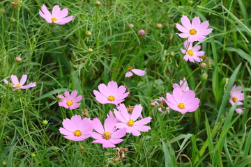 group of pink and purple cosmos flower in garden