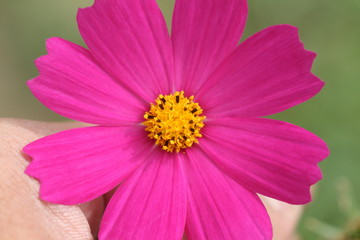 hand hold pink and purple cosmos flower in garden