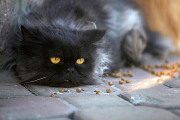 Fluffy black cat on the street