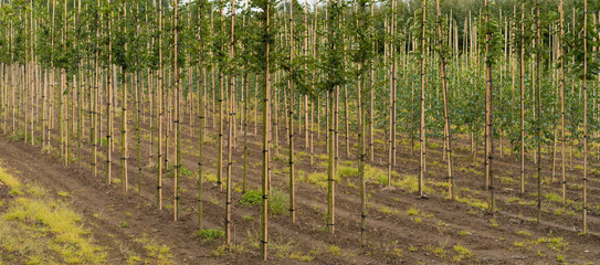 tree farm in the netherlands