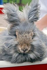 close up of gray angora rabbit