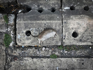 dead rat over the drain pipe by try to going down