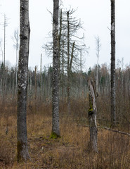 empty forest without leaves in autumn; trunks of three trees, fourth broken; In the background dead tree trunks in a swampy place