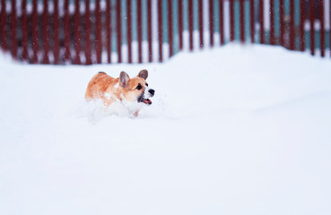 small red puppy walks in deep white snowdrifts in the winter in the village fun running and catching snowflakes