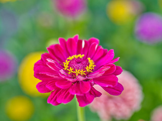 Plants: Close-up of a zinnia flower head