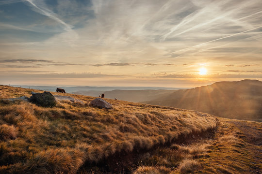 Cows in a rocky pasture of Cantal at sunrise