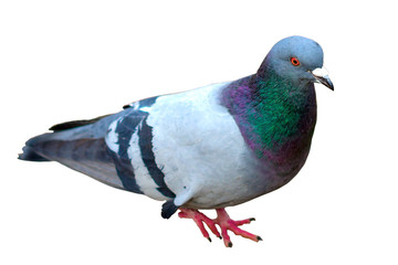Grey city pigeon. Isolated on white background. Close up Grey dove