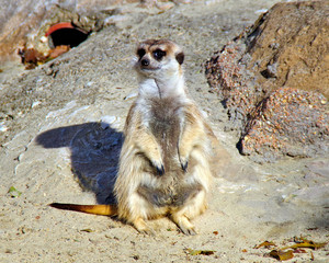 lemur posing for a pic