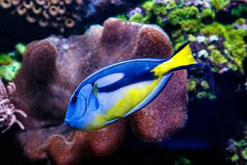 Fish Royal Blue Surgeon - Paracanthurus hepatus