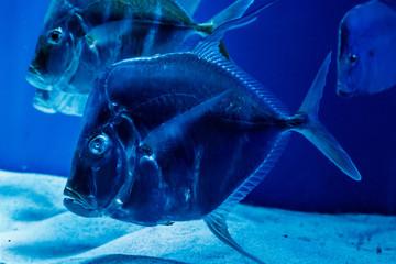 Selene Fish, or Selene Vomer