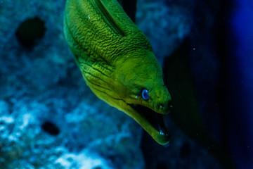 Fish Green Hymnothorax Gymnothorax funebris