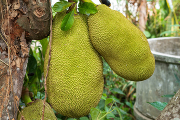 Big Green jackfruit on the tree.The fruit with yellow flesh, delicious taste of Thailand.