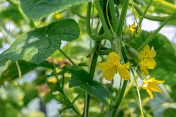 Cucumbers growing in the greenhouse. Flowers and cucumber ovaries. Gherkin, pickles. Close-up.