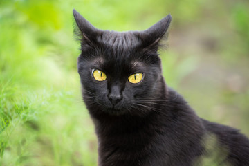 Cute funny bombay black cat, kitty portrait outdoor in nature close-up. Look at the camera